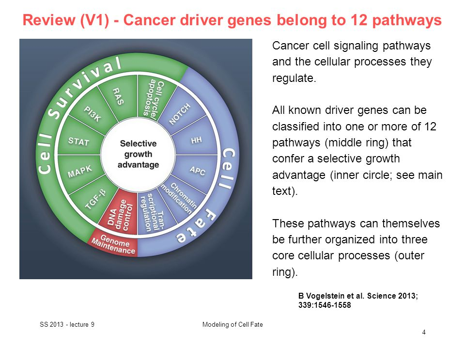 Review (V1) - Cancer driver genes belong to 12 pathways SS 2013 - lecture 9 4 Modeling of Cell Fate B Vogelstein et al.