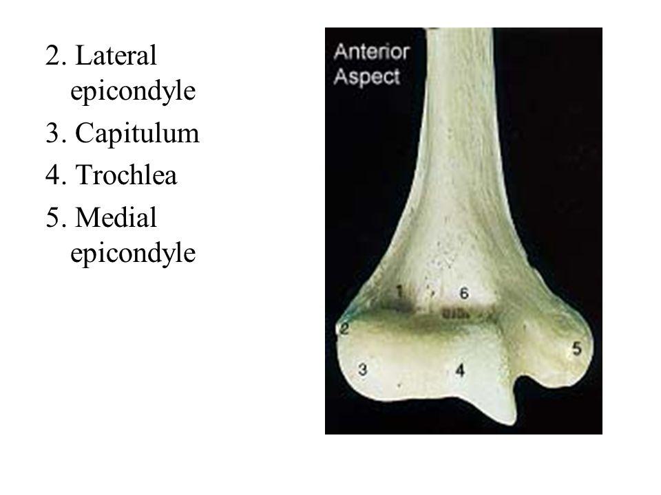 2. Lateral epicondyle 3. Capitulum 4. Trochlea 5. Medial epicondyle