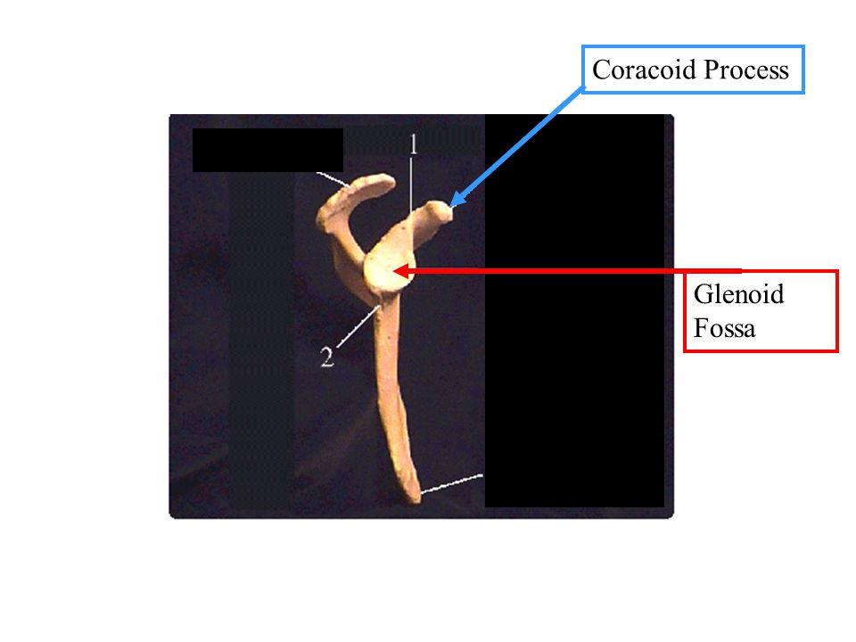 Coracoid Process Glenoid Fossa