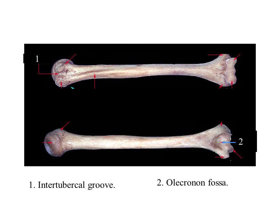 1 2 1. Intertubercal groove. 2. Olecronon fossa.