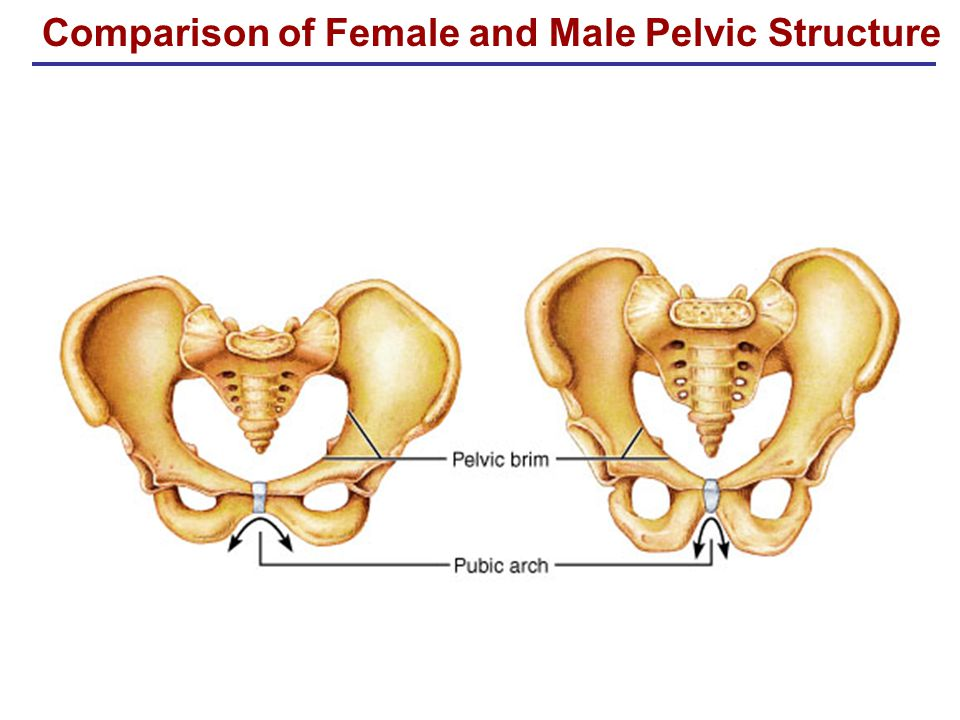 Comparison of Female and Male Pelvic Structure