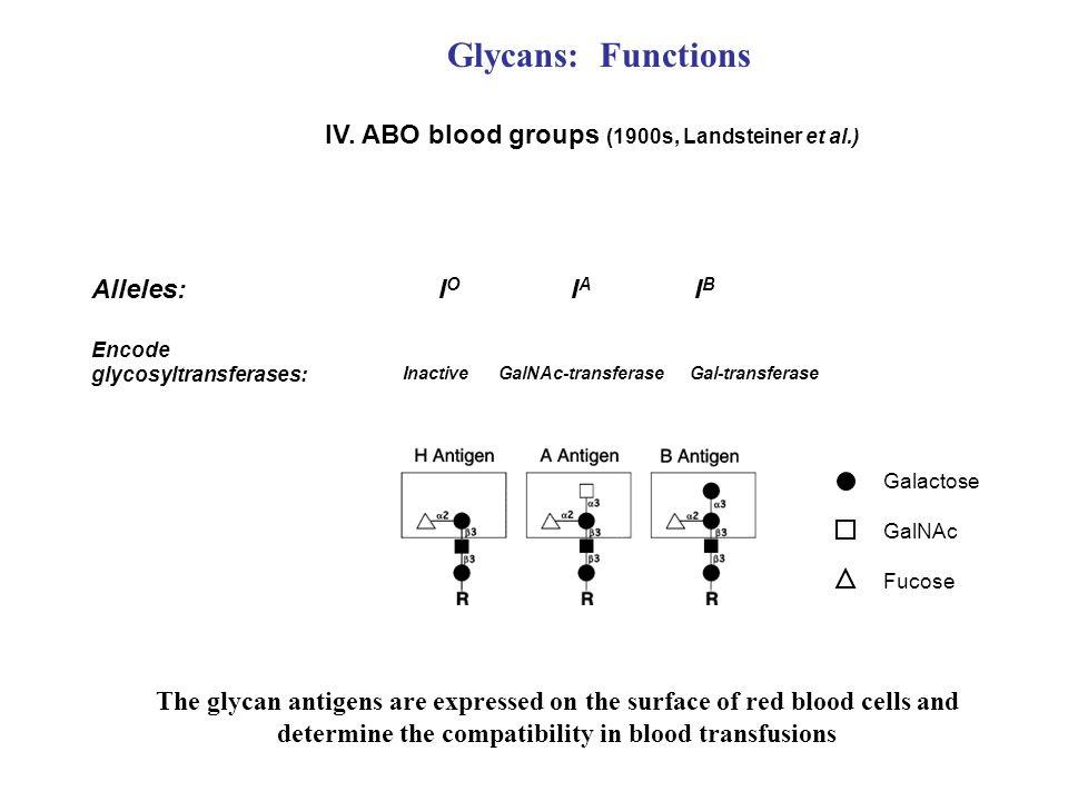 IV. ABO blood groups (1900s, Landsteiner et al.) I O I A I B Alleles: Encode glycosyltransferases: Inactive GalNAc-transferase Gal-transferase Galacto