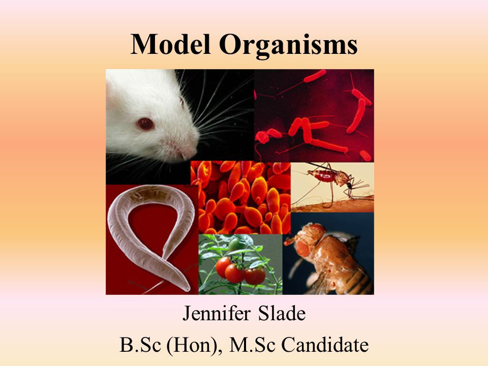 Model Organisms Jennifer Slade B.Sc (Hon), M.Sc Candidate