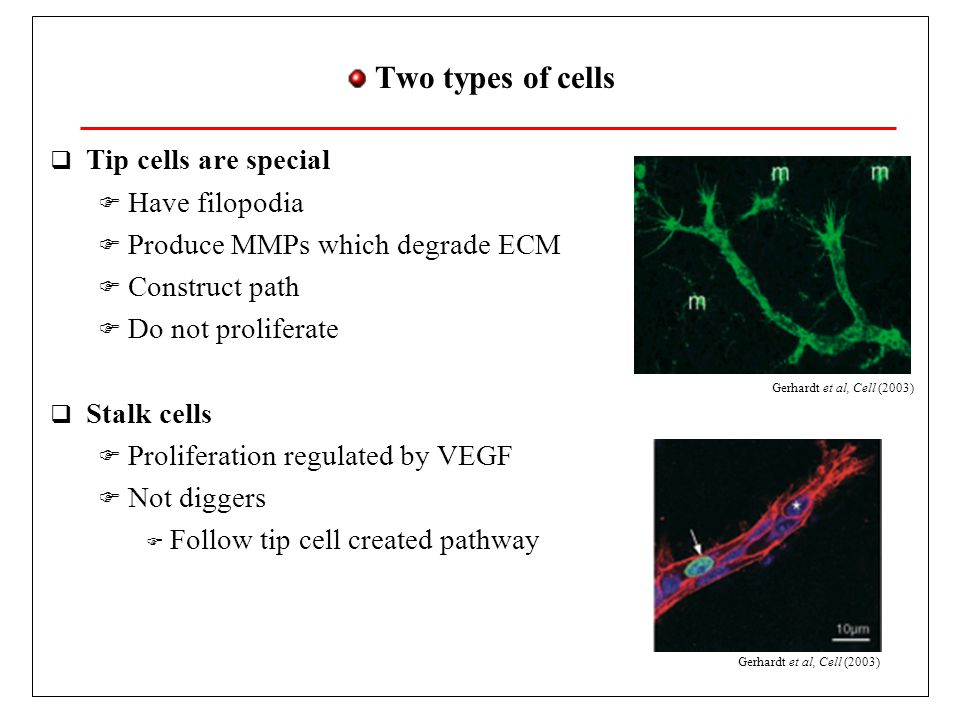 Two types of cells  Tip cells are special  Have filopodia  Produce MMPs which degrade ECM  Construct path  Do not proliferate  Stalk cells  Proliferation regulated by VEGF  Not diggers  Follow tip cell created pathway Gerhardt et al, Cell (2003)