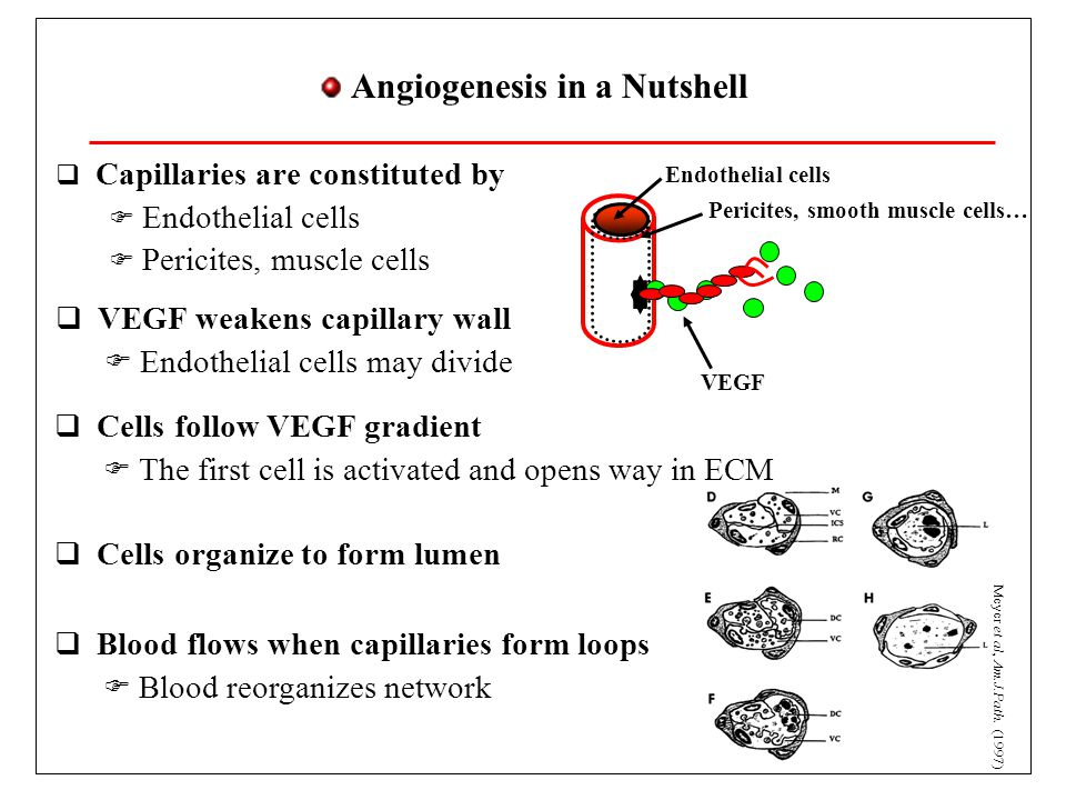 Angiogenesis in a Nutshell  Capillaries are constituted by  Endothelial cells  Pericites, muscle cells Endothelial cells Pericites, smooth muscle cells… VEGF  VEGF weakens capillary wall  Endothelial cells may divide  Cells follow VEGF gradient  The first cell is activated and opens way in ECM  Cells organize to form lumen  Blood flows when capillaries form loops  Blood reorganizes network Meyer et al, Am.J.Path.