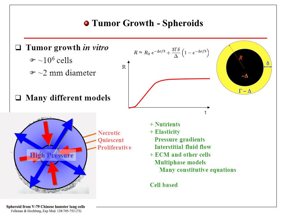 Tumor Growth - Spheroids  Tumor growth in vitro  ~10 6 cells  ~2 mm diameter  Many different models Necrotic Quiescent Proliferative + Nutrients + Elasticity Pressure gradients Interstitial fluid flow + ECM and other cells Multiphase models Many constitutive equations Cell based t R High Pressure