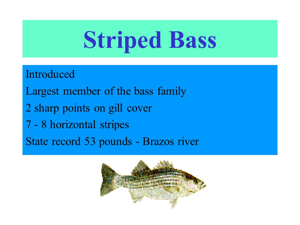 Striped Bass Introduced Largest member of the bass family 2 sharp points on gill cover 7 - 8 horizontal stripes State record 53 pounds - Brazos river