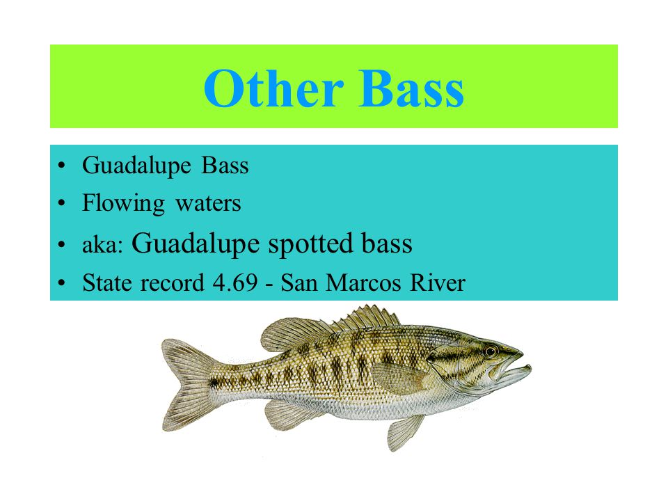 Other Bass Guadalupe Bass Flowing waters aka: Guadalupe spotted bass State record 4.69 - San Marcos River