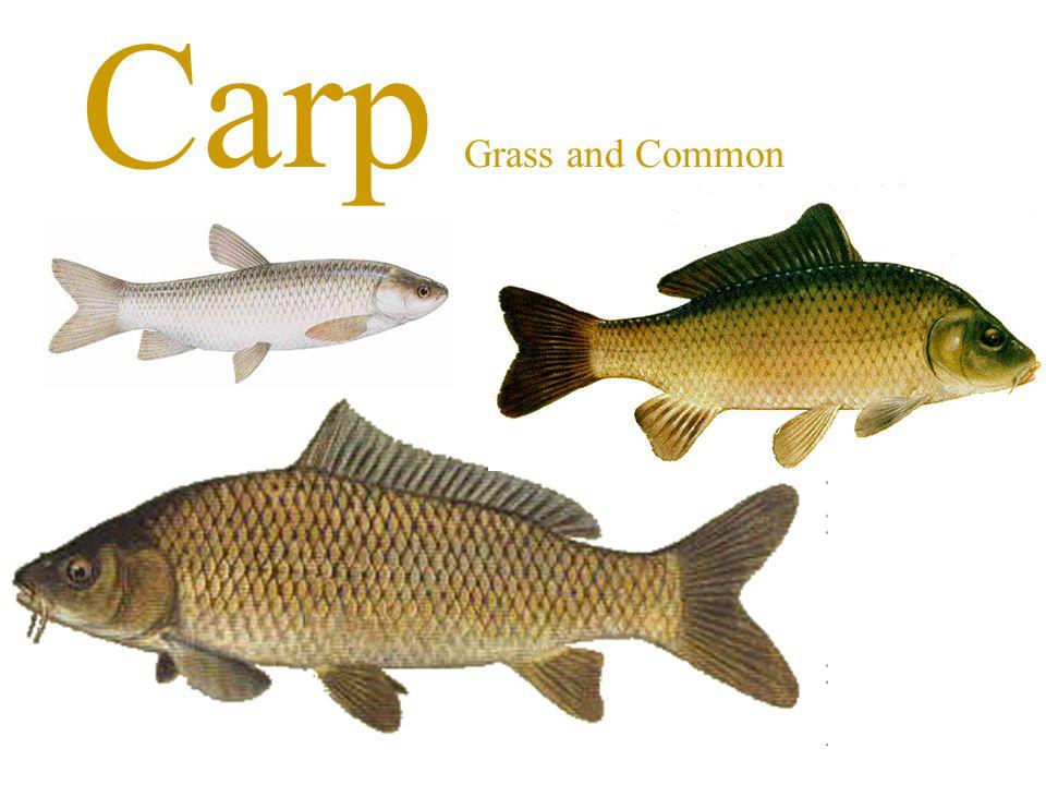 Carp Grass and Common