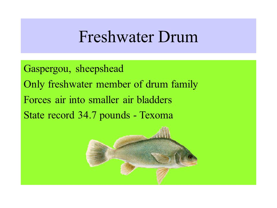 Freshwater Drum Gaspergou, sheepshead Only freshwater member of drum family Forces air into smaller air bladders State record 34.7 pounds - Texoma