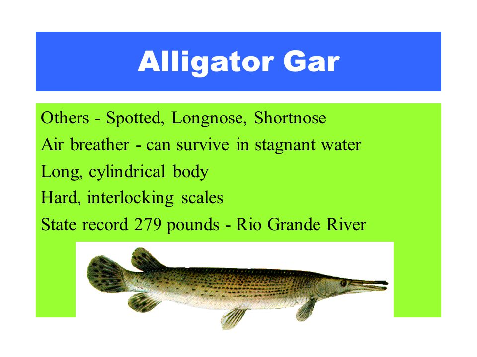 Alligator Gar Others - Spotted, Longnose, Shortnose Air breather - can survive in stagnant water Long, cylindrical body Hard, interlocking scales Stat