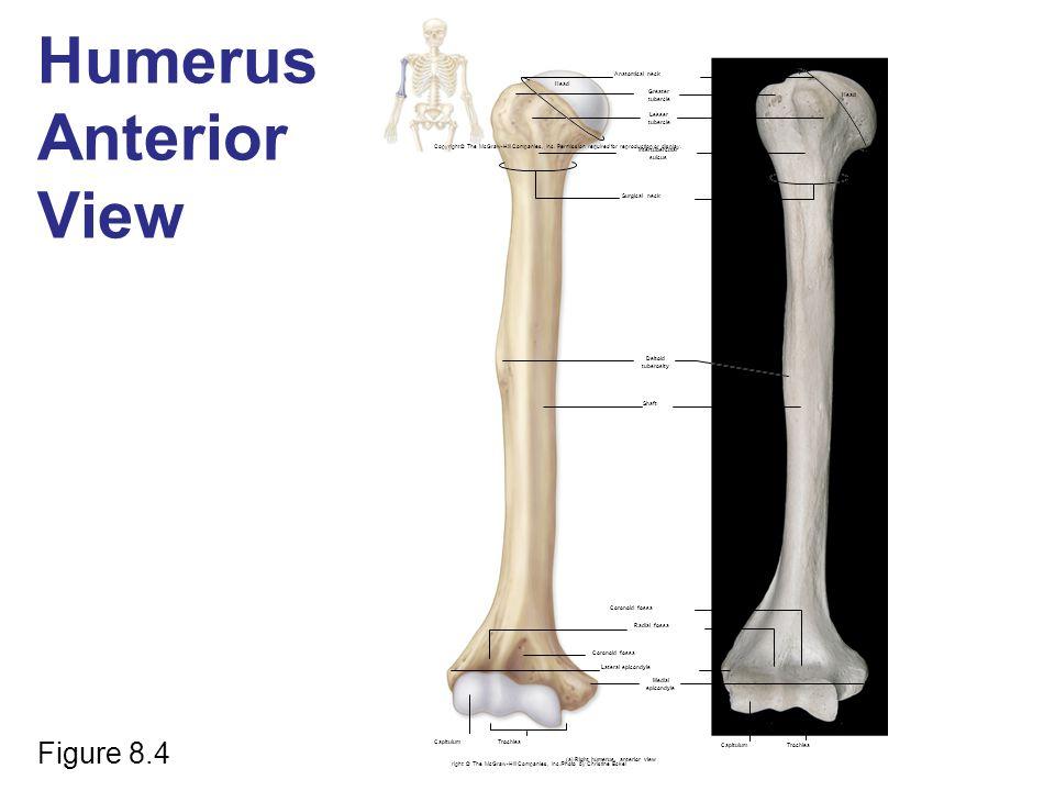 Humerus Anterior View Figure 8.4 Anatomical neck Head Greater tubercle Lesser tubercle Intertubercular sulcus Surgical neck Deltoid tuberosity Shaft C