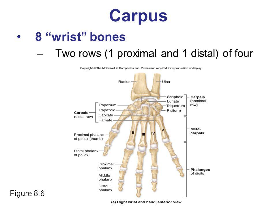"Carpus 8 ""wrist"" bones –Two rows (1 proximal and 1 distal) of four Figure 8.6"