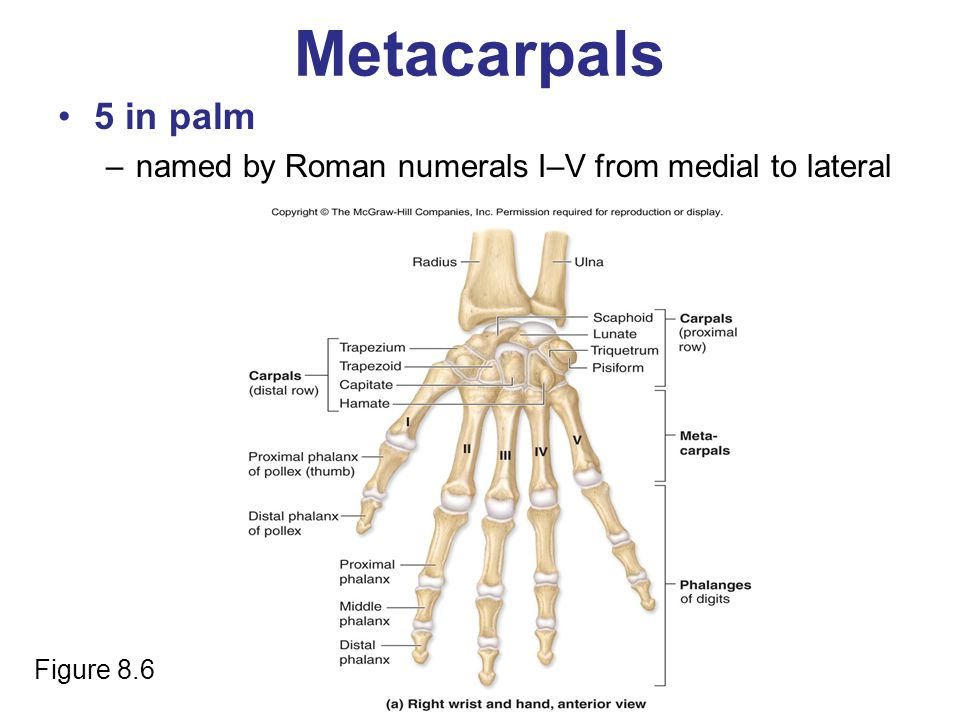 Metacarpals 5 in palm –named by Roman numerals I–V from medial to lateral Figure 8.6