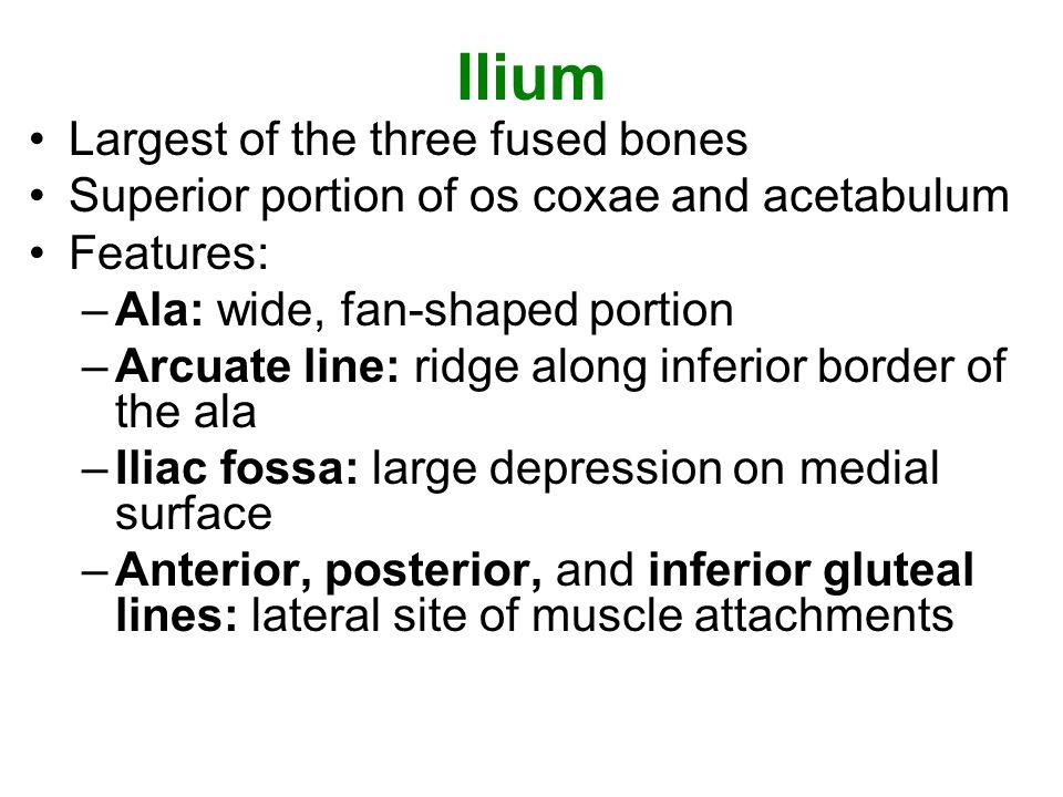 Ilium Largest of the three fused bones Superior portion of os coxae and acetabulum Features: –Ala: wide, fan-shaped portion –Arcuate line: ridge along