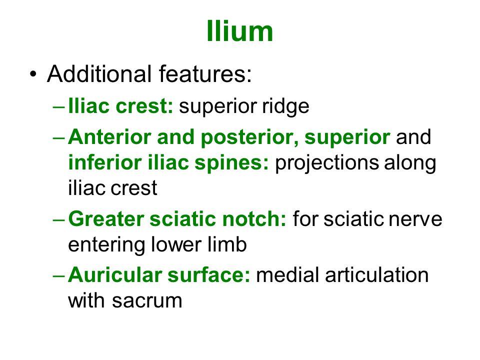 Ilium Additional features: –Iliac crest: superior ridge –Anterior and posterior, superior and inferior iliac spines: projections along iliac crest –Gr