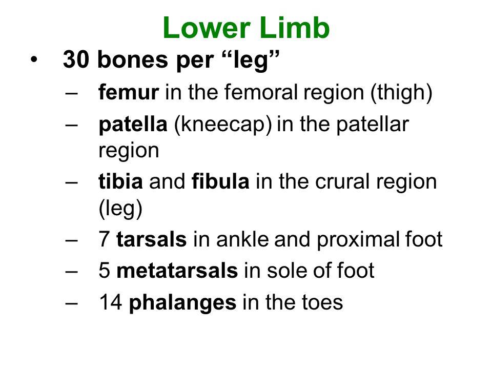 "Lower Limb 30 bones per ""leg"" –femur in the femoral region (thigh) –patella (kneecap) in the patellar region –tibia and fibula in the crural region (l"