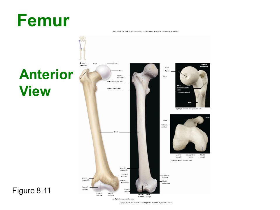 Femur Figure 8.11 Copyright © The McGraw-Hill Companies, Inc. Permission required for reproduction or display. Greater trochanter Neck Head Fovea Grea