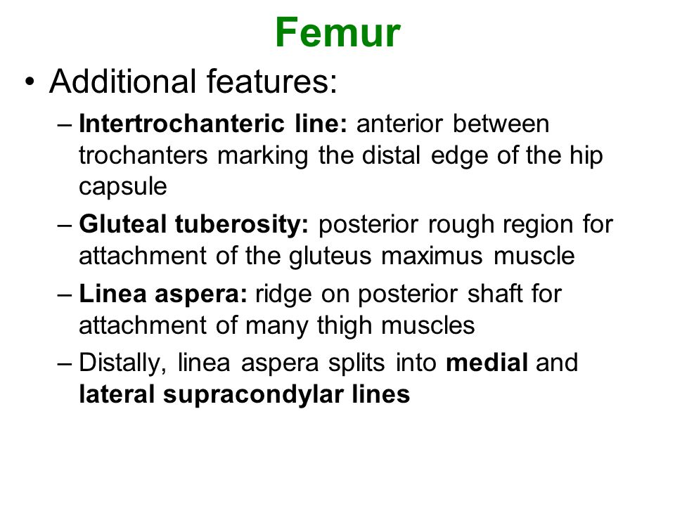 Femur Additional features: –Intertrochanteric line: anterior between trochanters marking the distal edge of the hip capsule –Gluteal tuberosity: poste