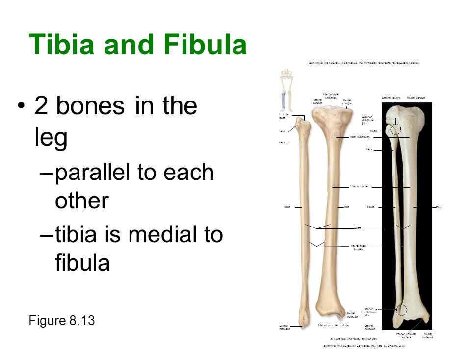 Tibia and Fibula 2 bones in the leg –parallel to each other –tibia is medial to fibula Figure 8.13 Copyright © The McGraw-Hill Companies, Inc. Permiss
