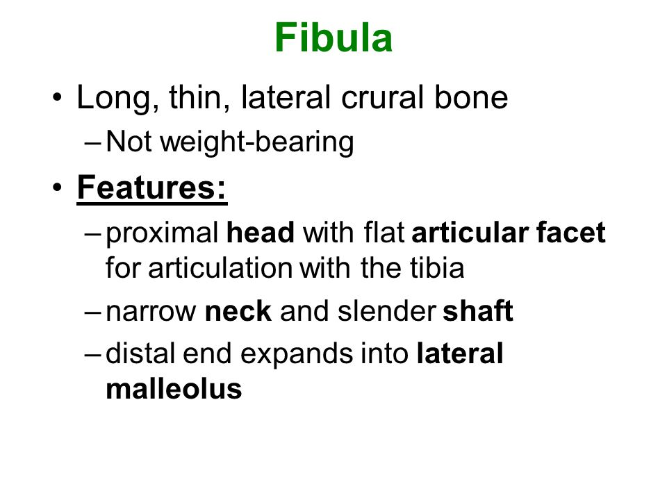 Fibula Long, thin, lateral crural bone –Not weight-bearing Features: –proximal head with flat articular facet for articulation with the tibia –narrow