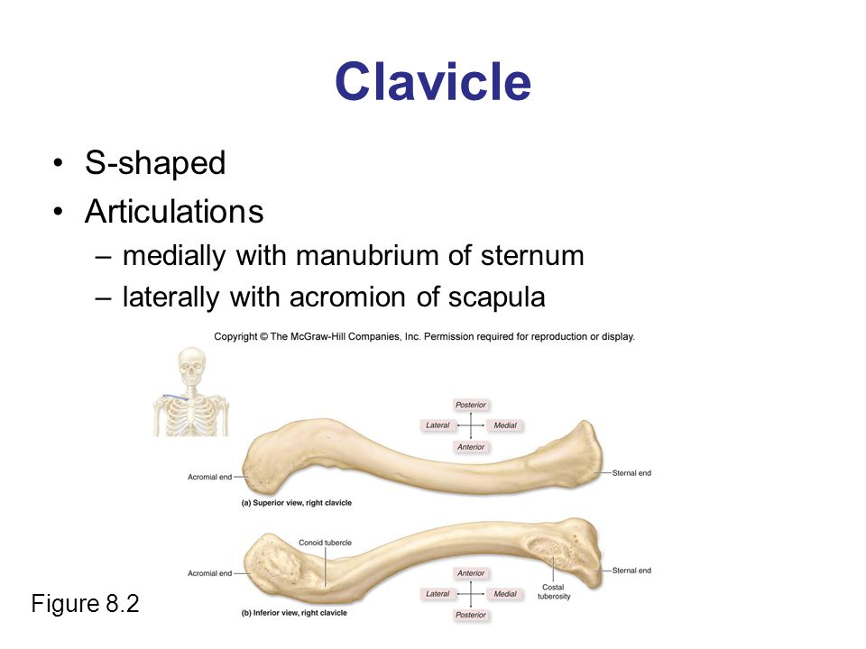 Clavicle S-shaped Articulations –medially with manubrium of sternum –laterally with acromion of scapula Figure 8.2