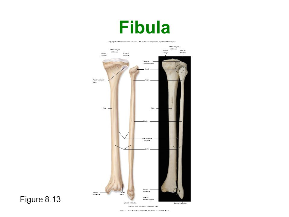 Fibula Figure 8.13 Copyright © The McGraw-Hill Companies, Inc. Permission required for reproduction or display. (right): © The McGraw-Hill Companies,
