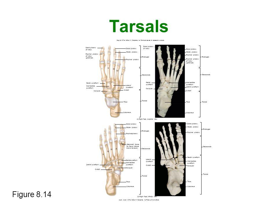 Tarsals Figure 8.14 Copyright © The McGraw-Hill Companies, Inc. Permission required for reproduction or display. I V I V I V I V Distal phalanx of hal