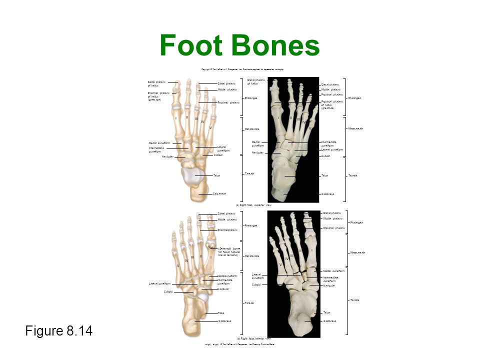 Foot Bones Figure 8.14 Copyright © The McGraw-Hill Companies, Inc. Permission required for reproduction or display. I V I V I V I V Distal phalanx of