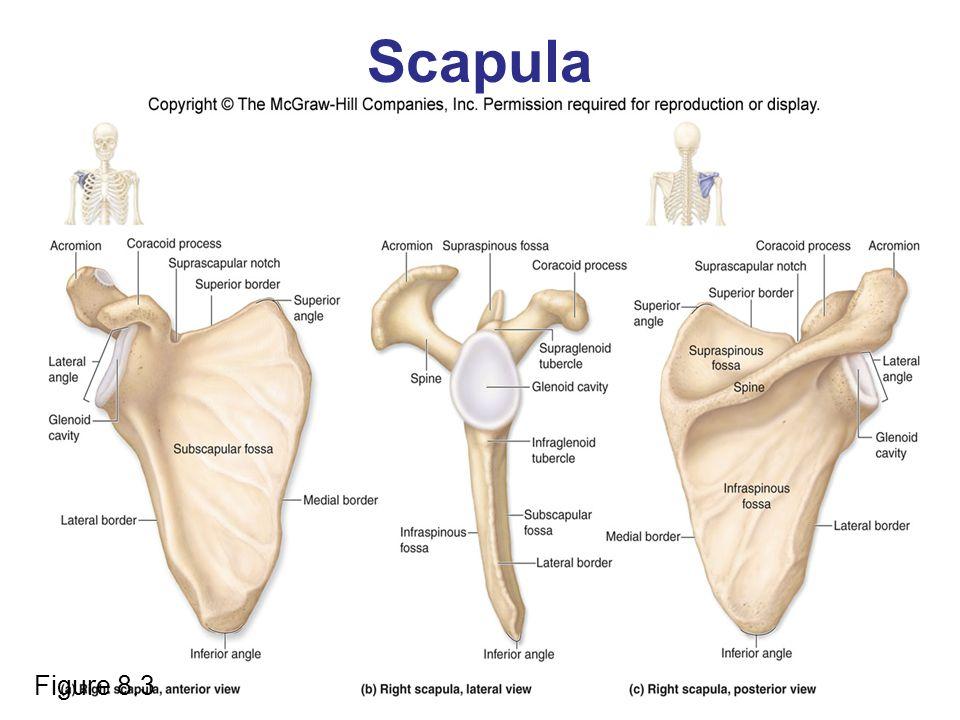 Scapula Figure 8.3