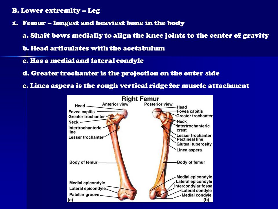 B. Lower extremity – Leg 1.Femur – longest and heaviest bone in the body a. Shaft bows medially to align the knee joints to the center of gravity b. H