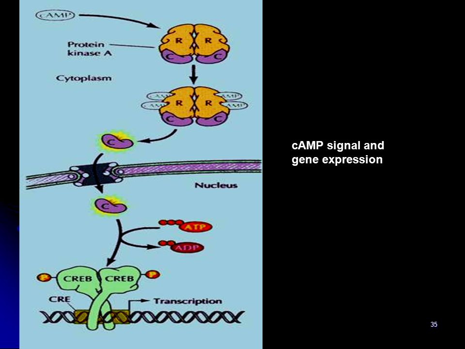 35 cAMP signal and gene expression