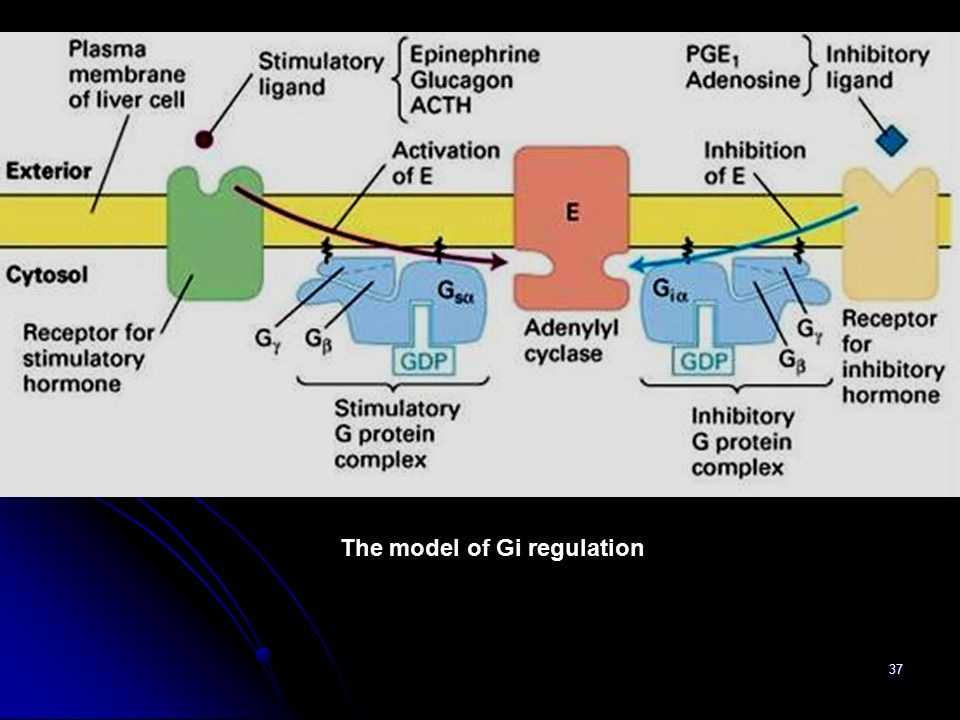 37 The model of Gi regulation