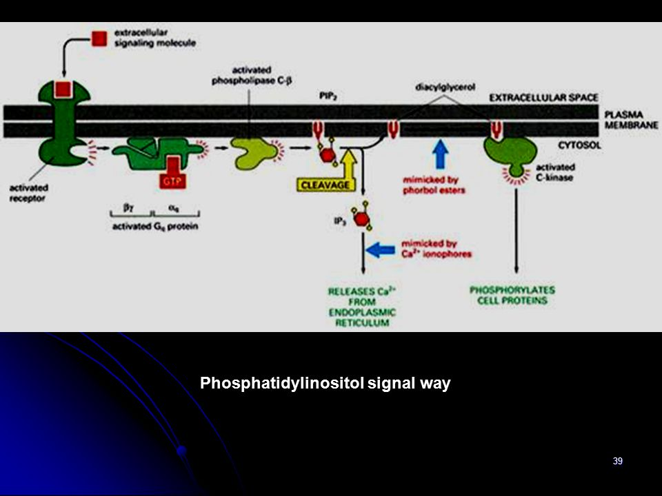 39 Phosphatidylinositol signal way