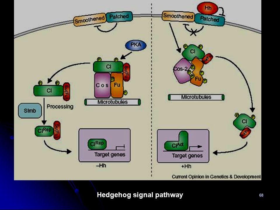 68 Hedgehog signal pathway