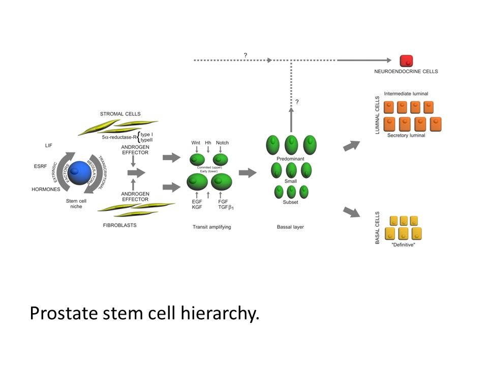 Prostate stem cell hierarchy.