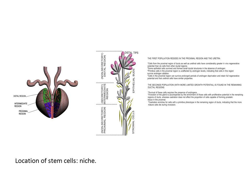 Location of stem cells: niche.