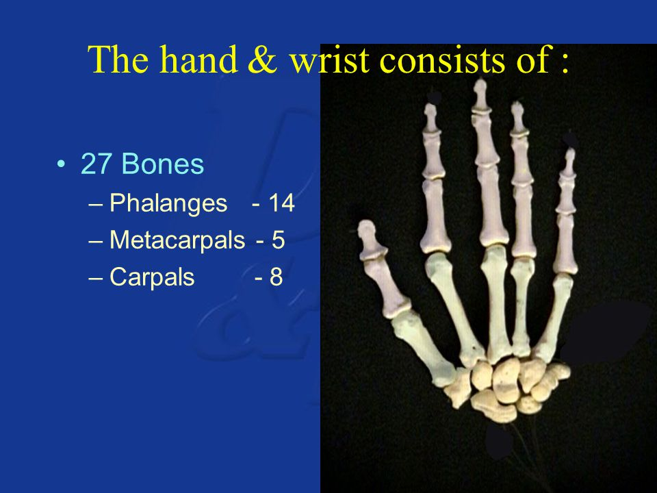 The hand & wrist consists of : 27 Bones –Phalanges - 14 –Metacarpals - 5 –Carpals - 8
