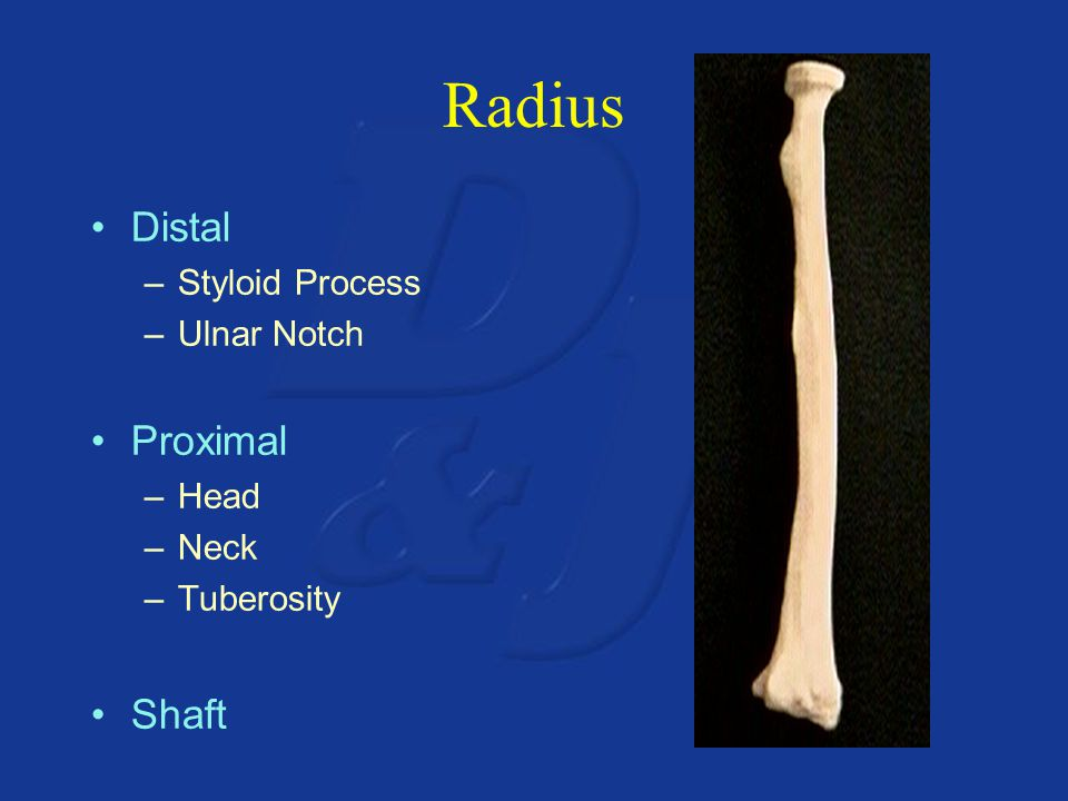 Radius Distal –Styloid Process –Ulnar Notch Proximal –Head –Neck –Tuberosity Shaft