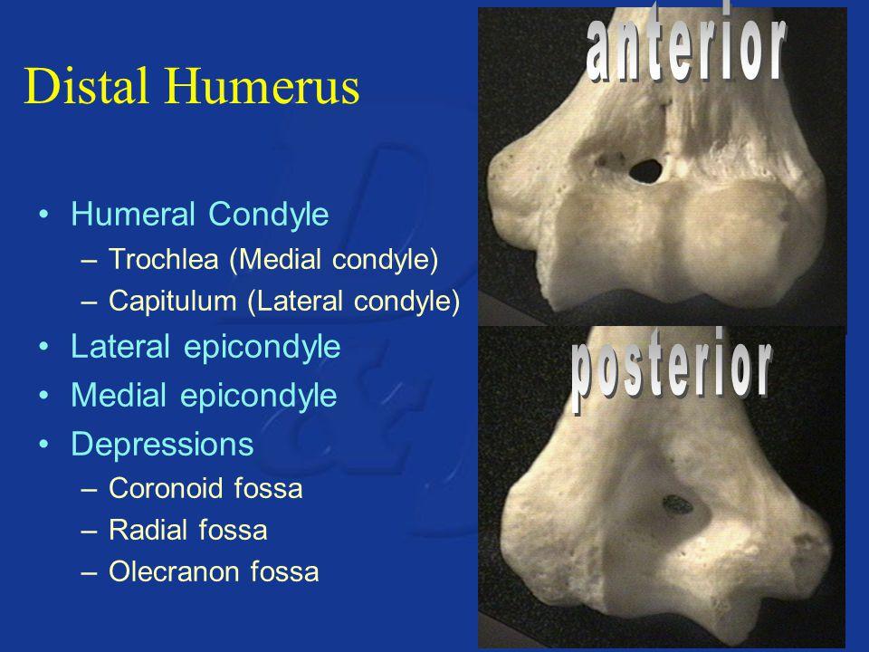 Distal Humerus Humeral Condyle –Trochlea (Medial condyle) –Capitulum (Lateral condyle) Lateral epicondyle Medial epicondyle Depressions –Coronoid fossa –Radial fossa –Olecranon fossa