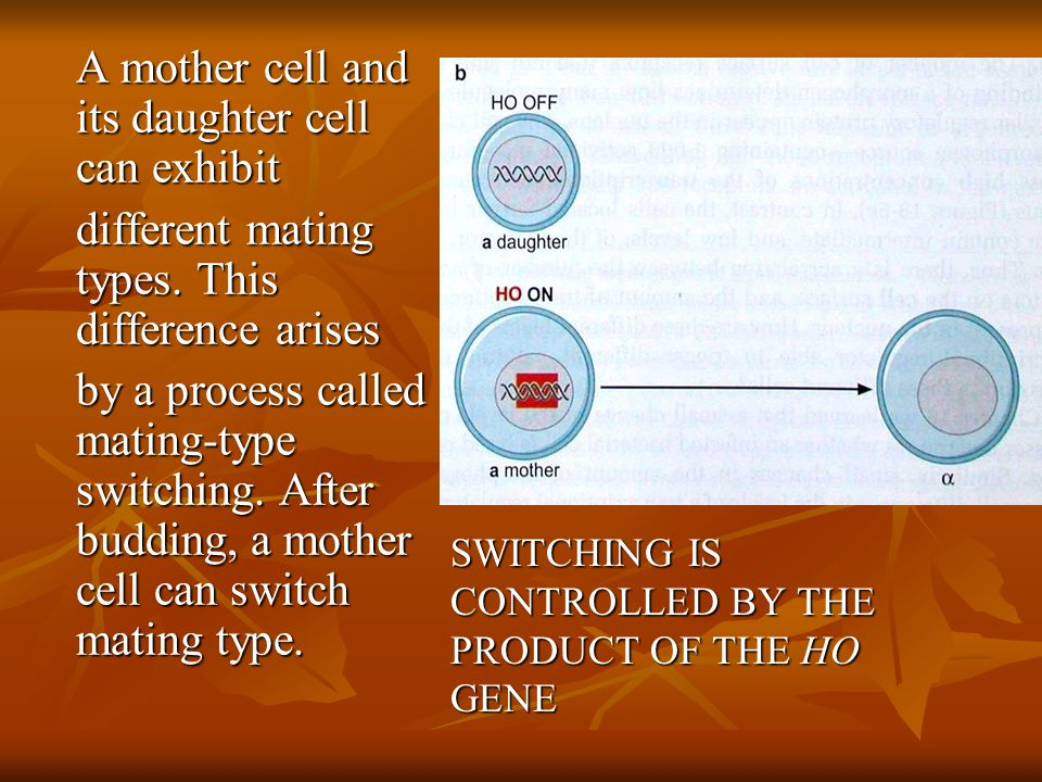SWITCHING IS CONTROLLED BY THE PRODUCT OF THE HO GENE A mother cell and its daughter cell can exhibit different mating types.