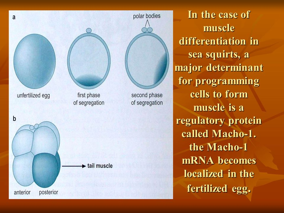 In the case of muscle differentiation in sea squirts, a major determinant for programming cells to form muscle is a regulatory protein called Macho-1.