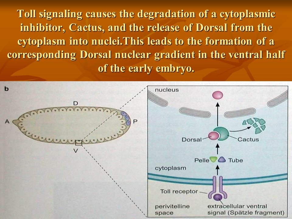 Toll signaling causes the degradation of a cytoplasmic inhibitor, Cactus, and the release of Dorsal from the cytoplasm into nuclei.This leads to the formation of a corresponding Dorsal nuclear gradient in the ventral half of the early embryo.