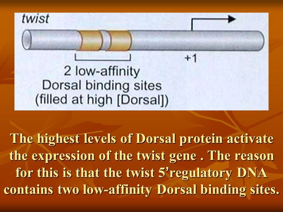 The highest levels of Dorsal protein activate the expression of the twist gene.