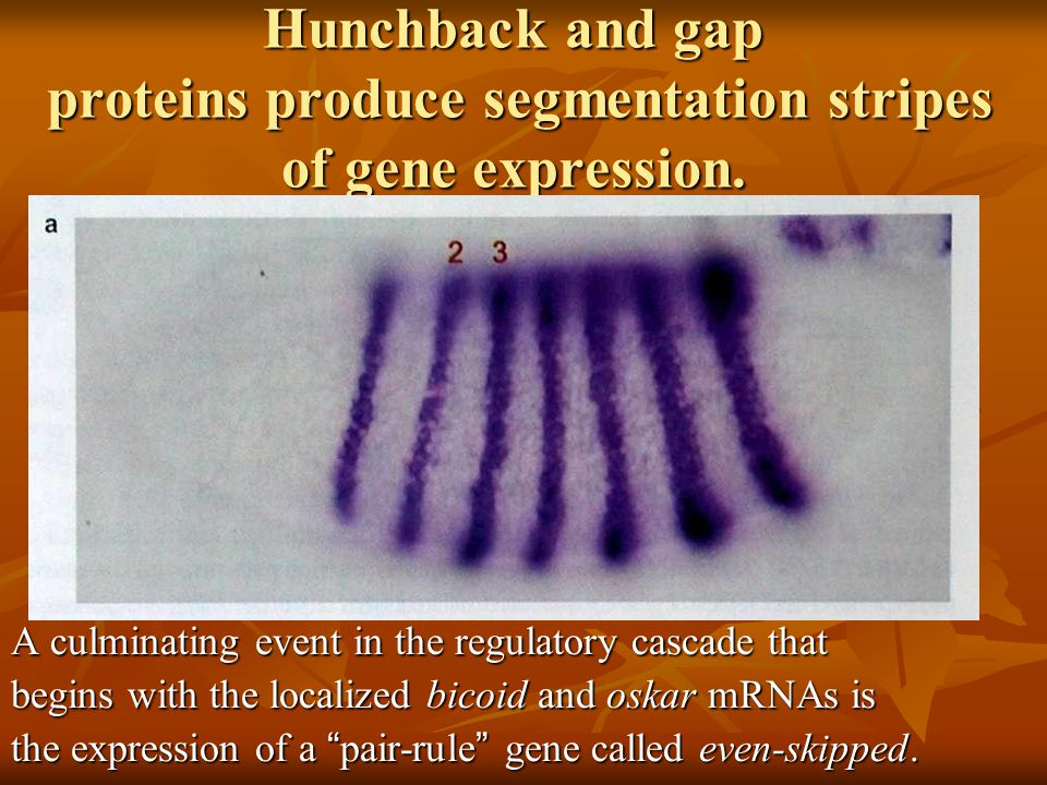 Hunchback and gap proteins produce segmentation stripes of gene expression.