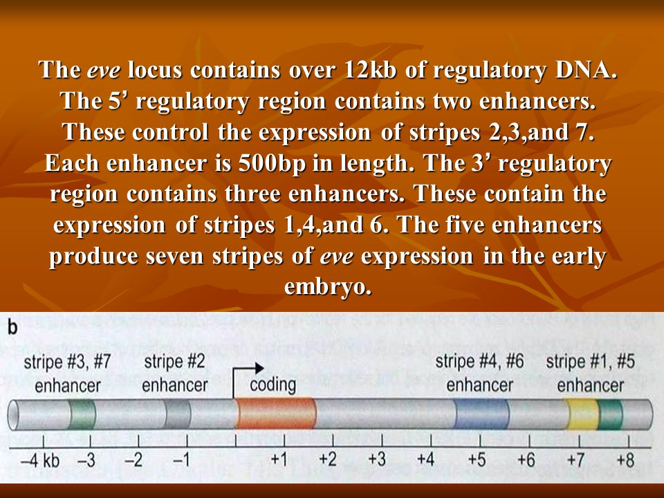 The eve locus contains over 12kb of regulatory DNA.