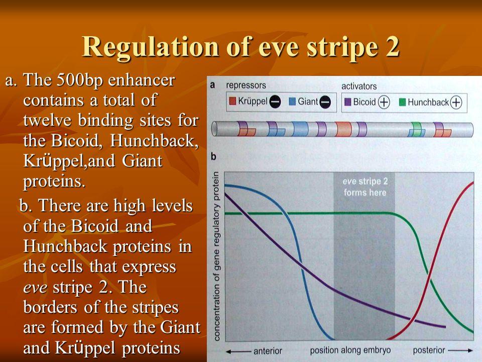 Regulation of eve stripe 2 a.