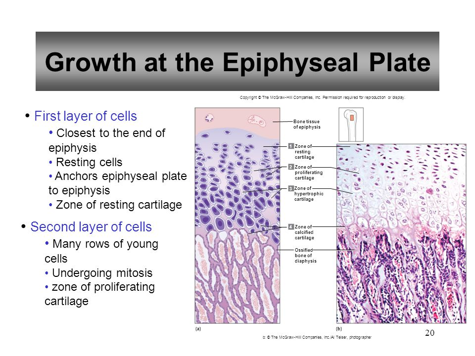 20 Growth at the Epiphyseal Plate First layer of cells Closest to the end of epiphysis Resting cells Anchors epiphyseal plate to epiphysis Zone of res