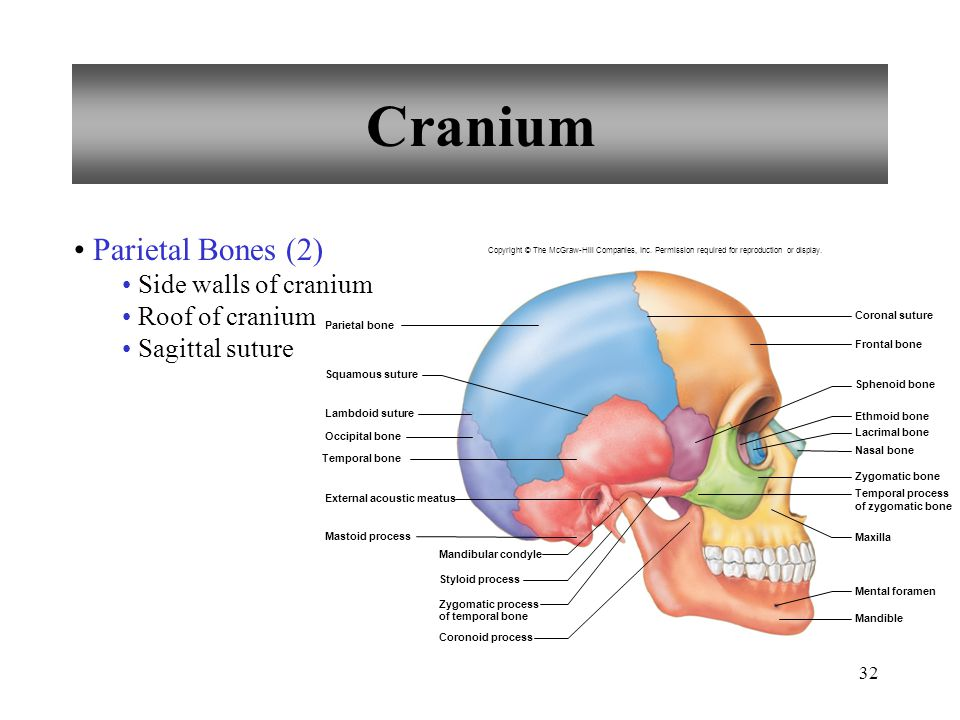 32 Cranium Parietal Bones (2) Side walls of cranium Roof of cranium Sagittal suture Coronal suture Frontal bone Sphenoid bone Ethmoid bone Lacrimal bo