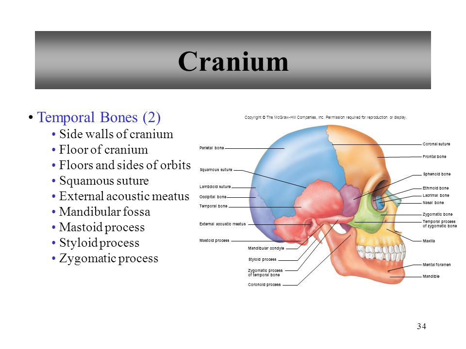 34 Cranium Temporal Bones (2) Side walls of cranium Floor of cranium Floors and sides of orbits Squamous suture External acoustic meatus Mandibular fo